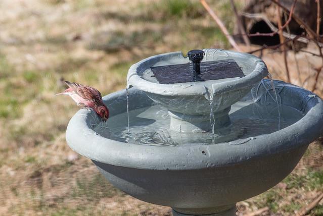 Purple Finch at birdbath