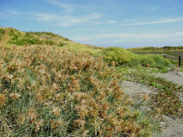 禾本科植物:濱刺麥。攝影:廖靜蕙