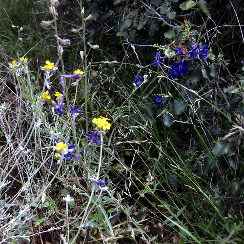Parry's Larkspure & Golden Yarrow at Pinnacles National Park