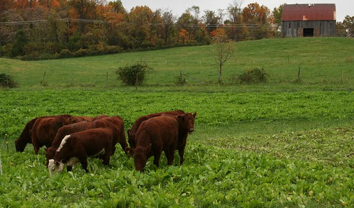 Cows grazing on a farm in Upper Marlboro, MD