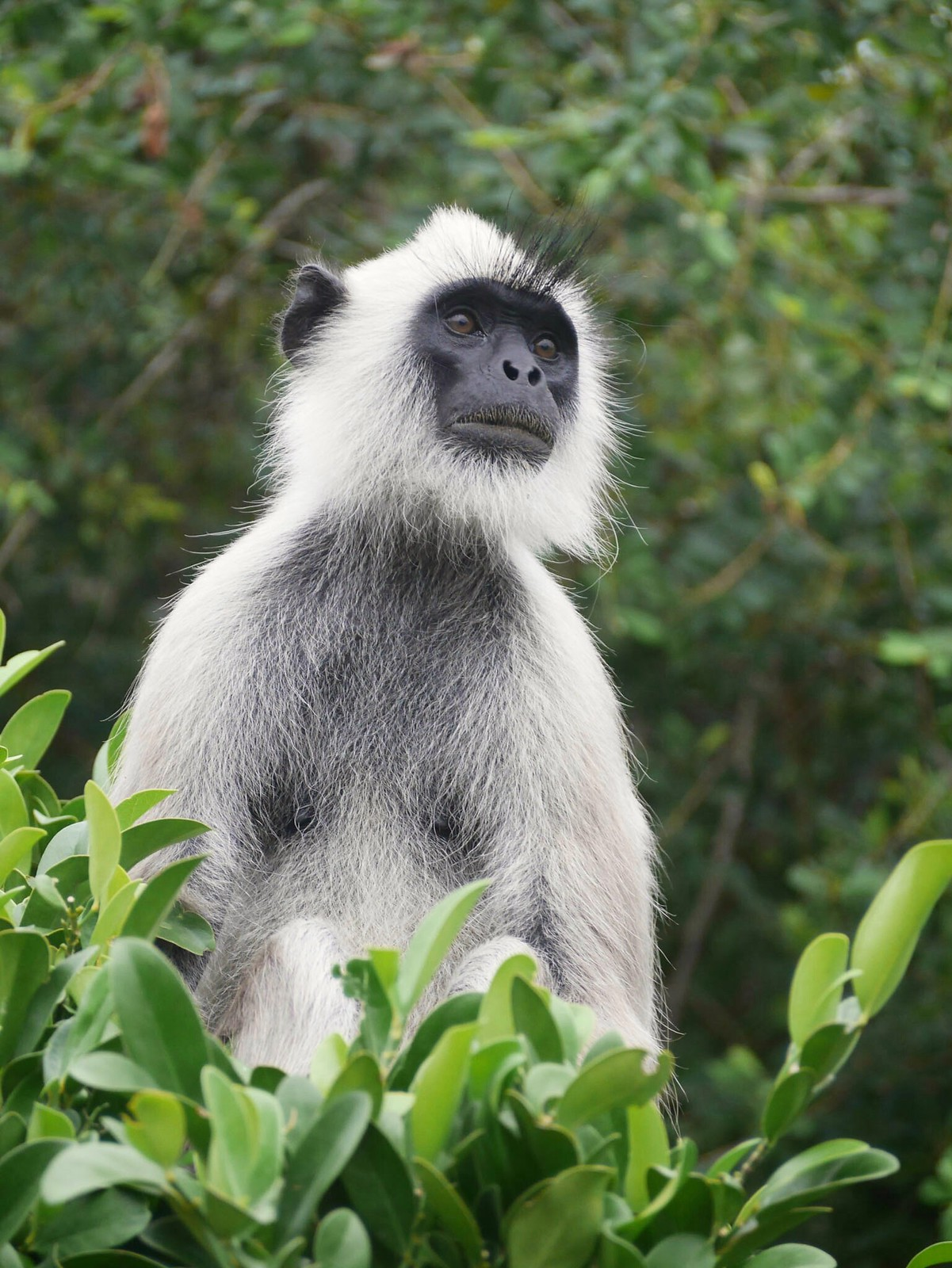 Curious (Bundala National Park, Sri Lanka)