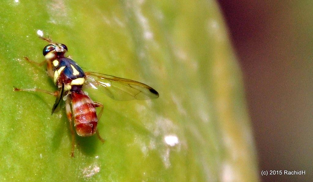 DSC_0239 | Peach Fruit Fly ~ Bactrocera zonata on a leaf ...