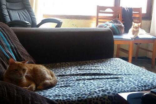 Jerry, gatito rubio guapo muy dulce y bueno, esterilizado, nacido en Abril´15 en adopción. Valencia. ADOPTADO. 26120982093_25812e17a5