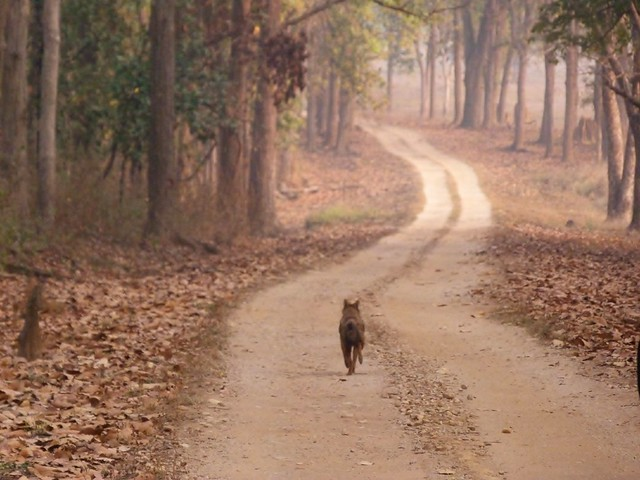 Chacal corriendo en un sendero de Kanha (India)