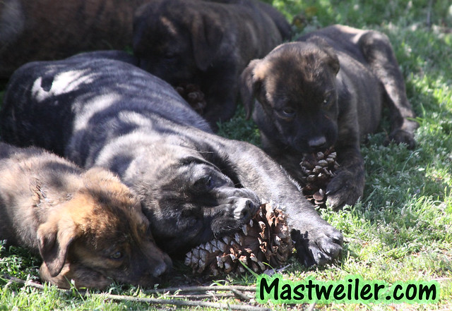 Lina & Griz Pups Available - 4 Brindle Pups (1 Girl, 3 Boys)