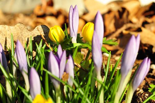 Weinheim Bergstraße Hermannshof Garten Schaugarten Gartenreise Januar 2016 Frühblüher Foto Brigitte Stolle Mannheim 2016 Krokus Elfen-Krokus Crocus tommasinianus