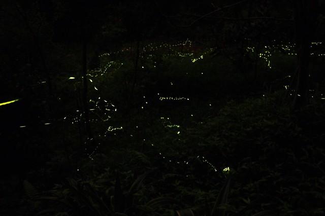 夜晚螢火蟲飛舞,好像樹叢間的芭蕾舞者讓志工讚嘆自然的美麗與奇妙