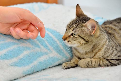 Tigris, gatita atigrada parda de ojazos verdes y cara redondita, tímida y sumisa esterilizada, nacida en Septiembre´15, en adopción. Valencia. ADOPTADA. 25139209162_aee28b03df