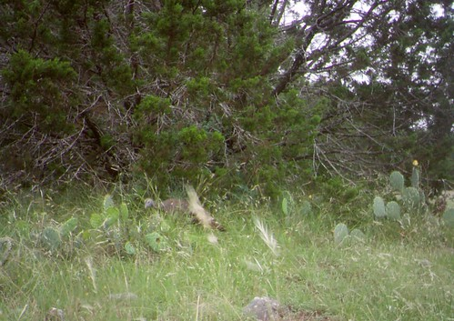 Trail camera showing a turkey hen choosing a nest location in Texas