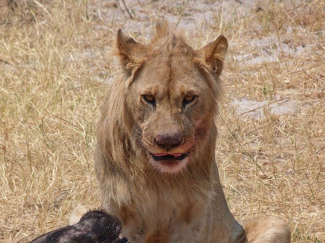 León en Savuti (Botswana) después de haber cazado a un búfalo