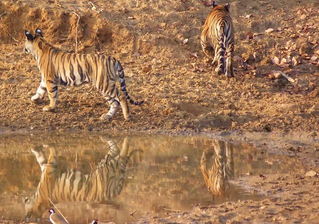 Cachorros de tigre de Bengala en Bandhavgarh (Safari en India con Comando Piraña)