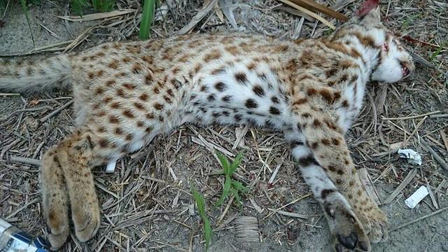路殺死亡的石虎個體,解剖結果無一體內沒有農藥殘留。「石虎保育大使 阿虎加油」授權提供
