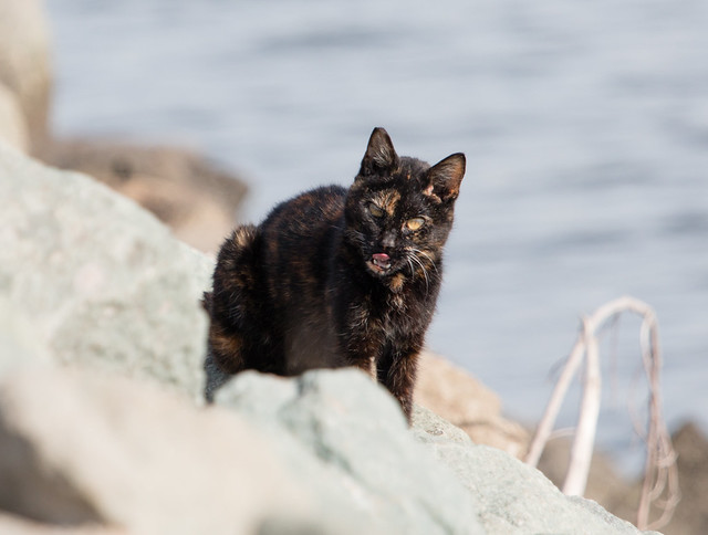 Feral Cat on the California Coast