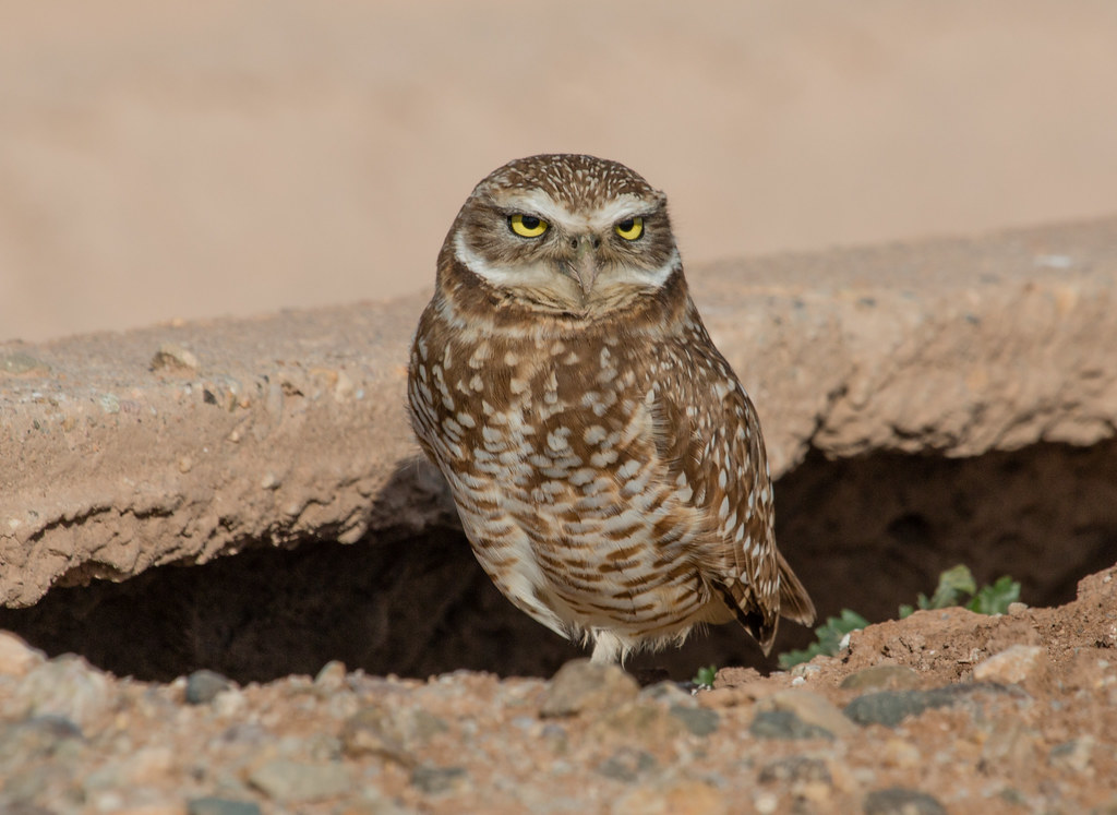 Our Burrowing Owl Is Closely Related To The Little Of Eurasia Species That Pigwidgeon Might Be