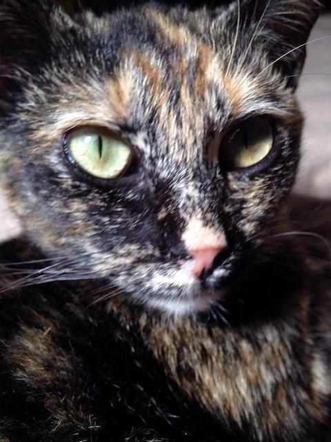 Sunny, preciosa gatita Carey mimosona y muy buena esterilizada, nacida en Septiembre´15, en adopción. Valencia. FALLECIDA. 26436847942_91160e3308_z