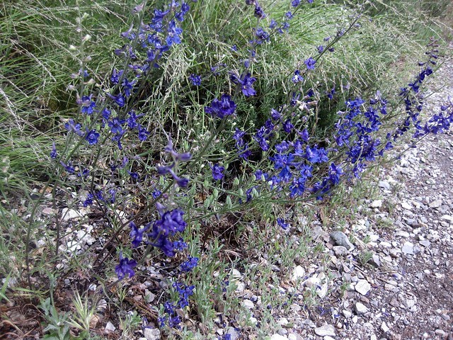 Parry's Larkspur -  Pinnacles National Park