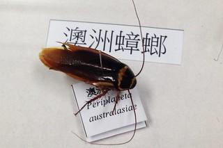 澳洲蟑螂體型大,是居家常見的物種。廖靜蕙攝。