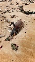 一隻死去的海豚,嘴上纏著漁網,背景是滿布垃圾的湖西沙灘。蔡曜任提供