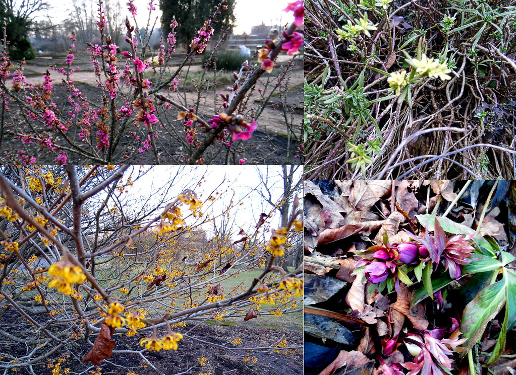 Daphne, Helleborus, Hamamelis and the last one is unclear for me.