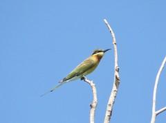 Blue-tailed bee-eater (guêpier à queue d'azur)