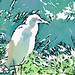 An egret?