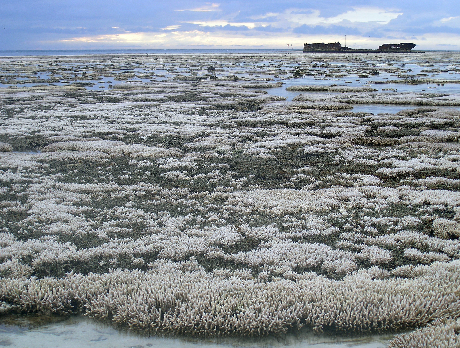 Bleached coral: A major coral bleaching event took place on this part of the Great Barrier Reef in Australia. Photo: Oregon State University