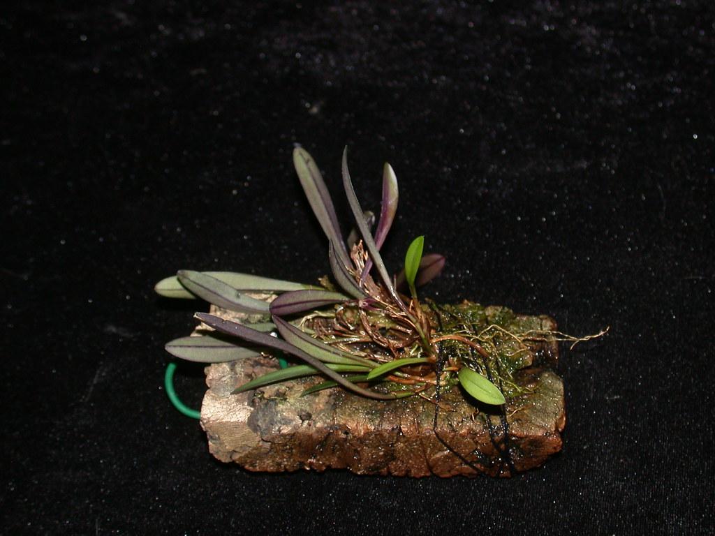 Miniatur-Orchideen Teil 3 23582562843_0059a56e31_b