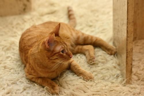Jerry, gatito rubio guapo muy dulce y bueno, esterilizado, nacido en Abril´15 en adopción. Valencia. ADOPTADO. 24385081755_981962152b