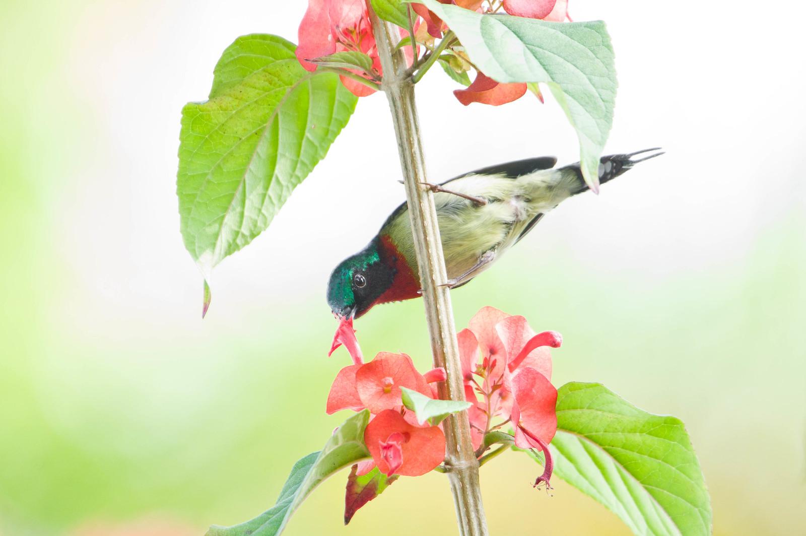 沙公太陽鳥夫妻