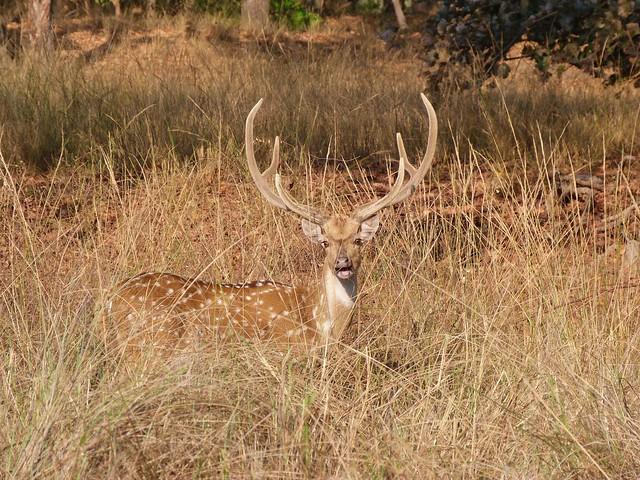 Ciervo en Kanha (India)