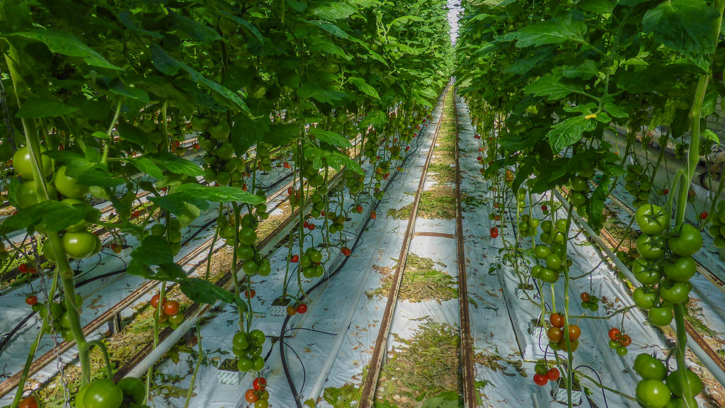 Tomato plants in a greenhouse   Tomato plants of the B.L ...