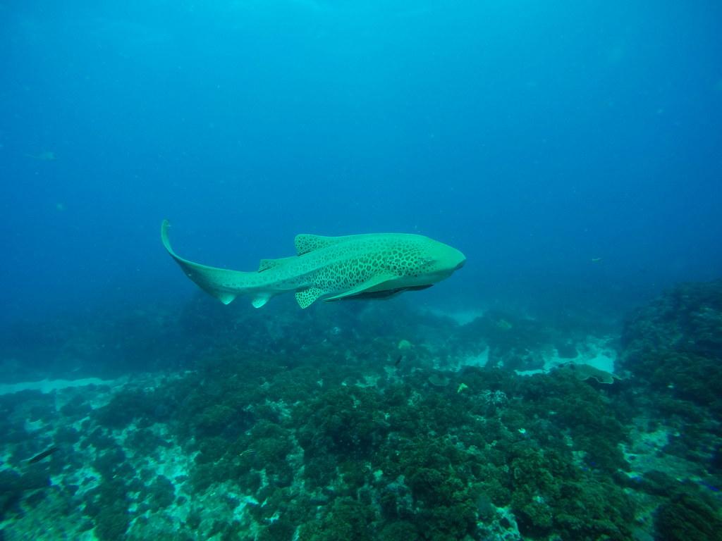 Scuba diving at julian rocks off byron bay nsw leopard - Dive byron bay ...