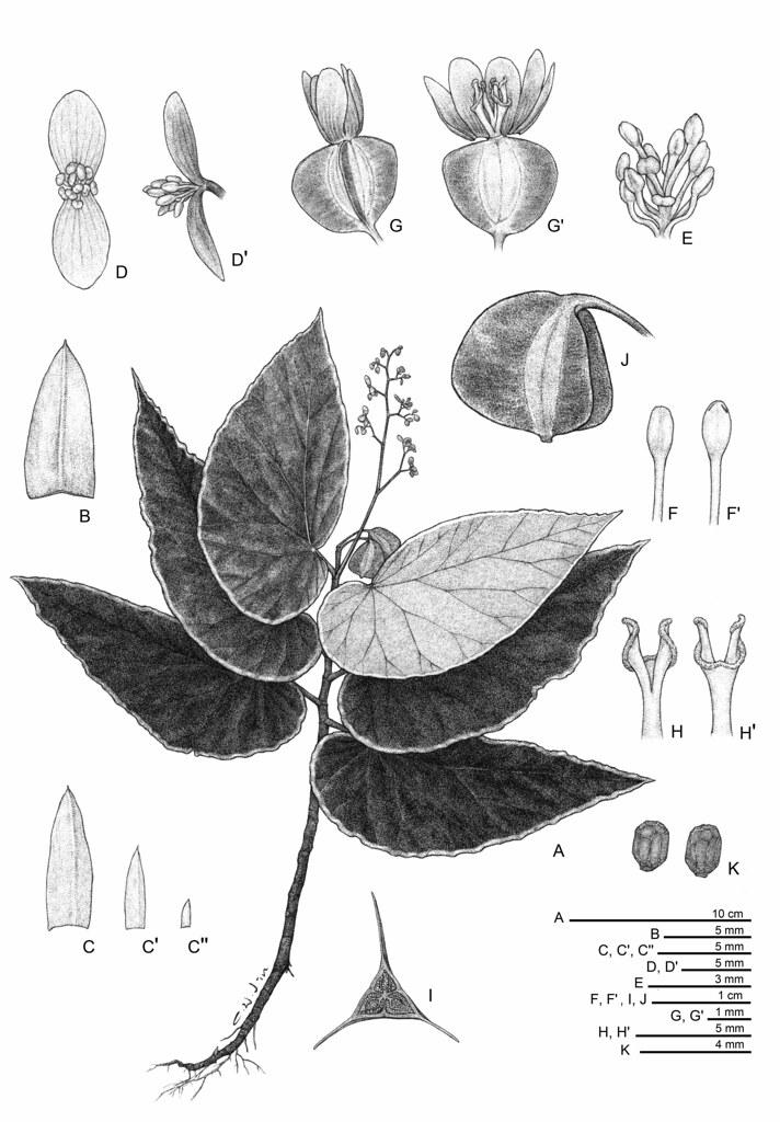 黑武士秋海棠Begonia darthvaderiana。圖片來源:林業試驗所提供。