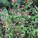 starr-071130-0032-Justicia_brandegeana-flowering_habit-Olinda_Rd_Makawao-Maui