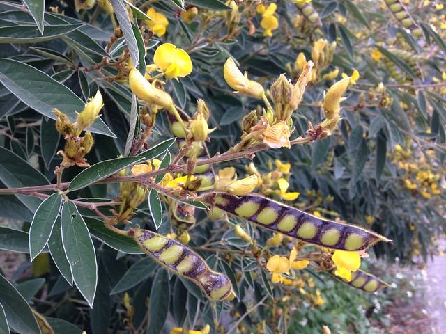 樹豆是阿美族傳統作物,馬太鞍就是阿美語樹豆的意思。攝影:廖靜蕙
