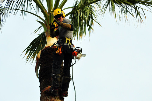 """Côte d'Azur: Palmen überall. Wie hier in Nizza beispielsweise. Schön sehen sie aus vor einem blauen Himmel. Meine Fotos stammen von 29. Februar 2016; es war ein warmer und sonniger Tag. Die Palmen brauchen Hege und Pflege. Gibt es in Gegenden mit so vielen Palmen einen speziellen Beruf dafür? Vielleicht einen """"Palmengärtner""""? So einem """"Palmengärtner"""" konnte ich bei der Arbeit zusehen. Der junge Mann werkelte in circa 30 Metern Höhe, schnitt, stutzte, warf Pflanzenteile herab. Was genau er da oben trieb, weiß ich leider nicht zu sagen, denn von der """"Palmengärtnerei"""" habe ich keine Ahnung. Es war aber spannend anzusehen, wie er da oben, mit Seilen gut gesichert, hantierte und seinen Kollegen irgendwelche geheimnisvolle Zeichen gab. Wie gut, dass ich mein Teleobjektiv dabei hatte."""