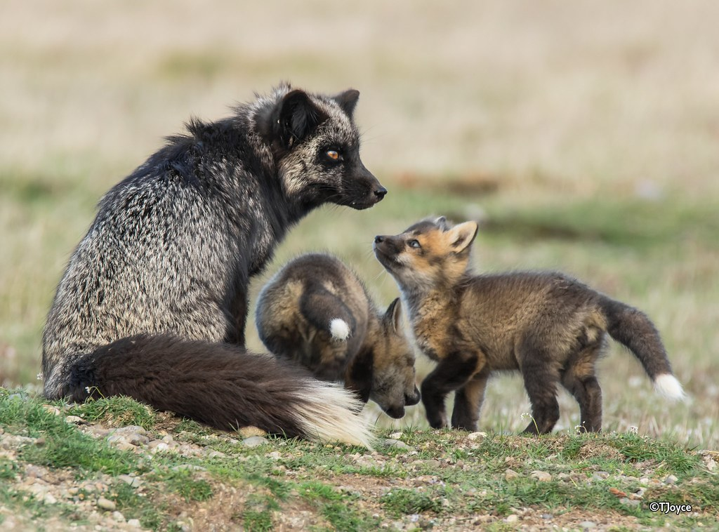 Silver fox kit - photo#31