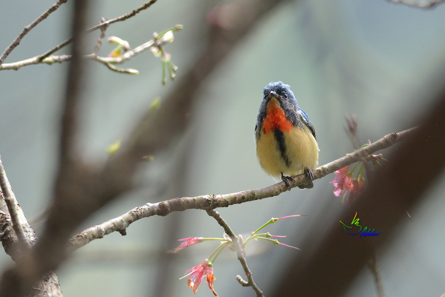 Fire-breasted_Flowerpecker_1689