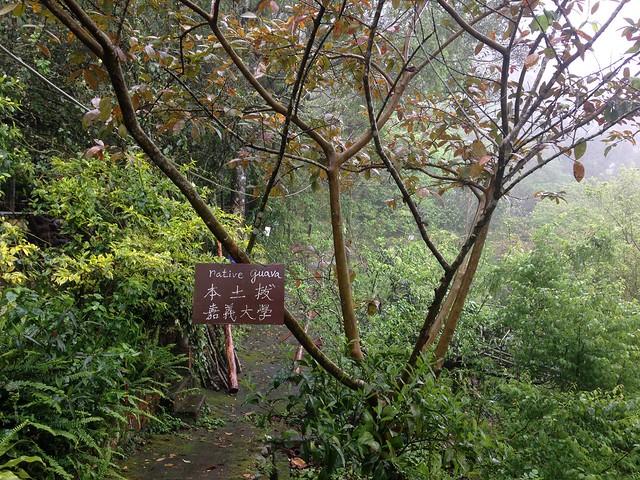 嘉義大學致贈的本土拔,種在林中保種。攝影:廖靜蕙