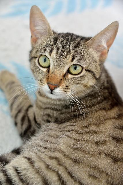 Tigris, gatita atigrada parda de ojazos verdes y cara redondita, tímida y sumisa esterilizada, nacida en Septiembre´15, en adopción. Valencia. ADOPTADA. 25257502565_7a038ec8b0_z