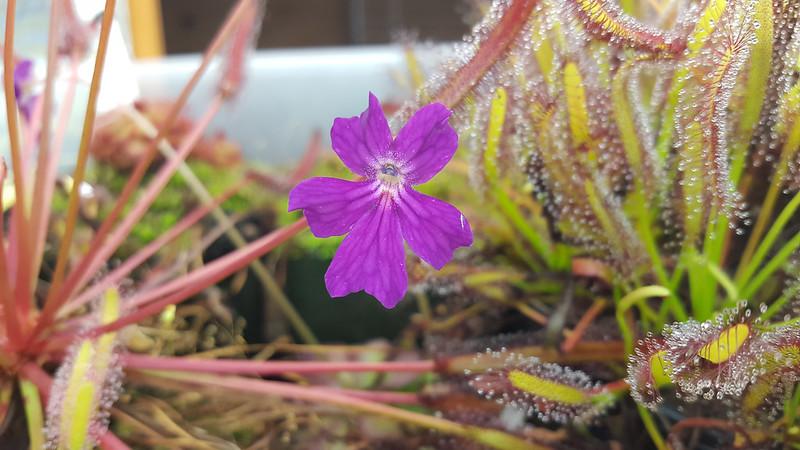 Pinguicula laueana × emarginata flower.