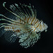 These Lionfish are native to the Indo-Pacific, but are now established along the southeast coast of the US, likely due to humans freeing them from home aquariums.