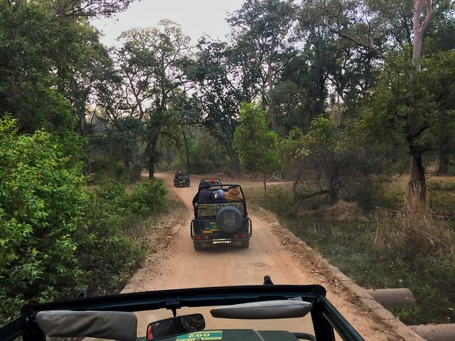 Coches de safari en Kanha (India)