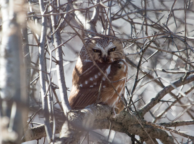 Northern Saw-whet Owl holding a deer mouse