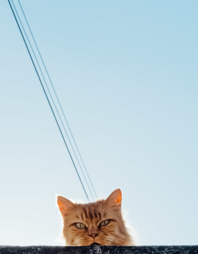 ginger cat on roof