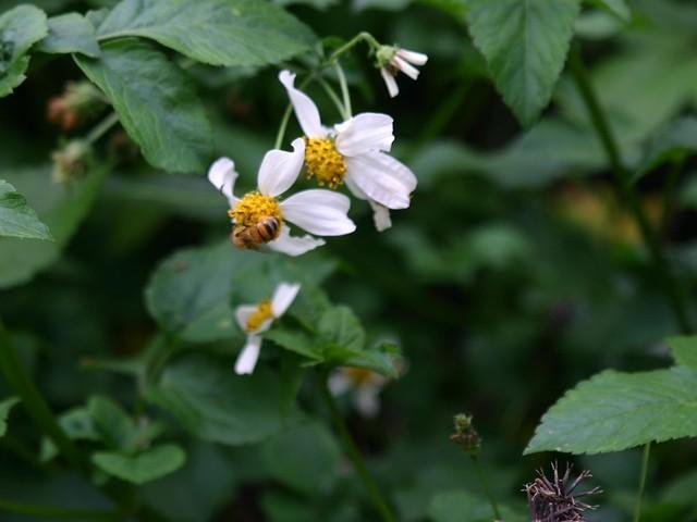 大花咸豐草是台灣重要的蜜源植物,攝影:王升陽。