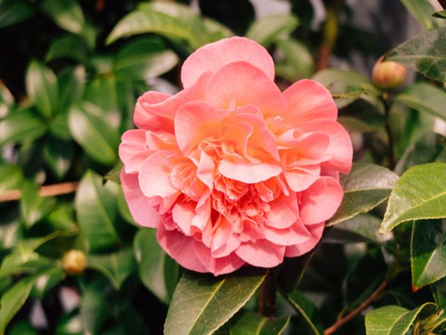 pink - peach rose