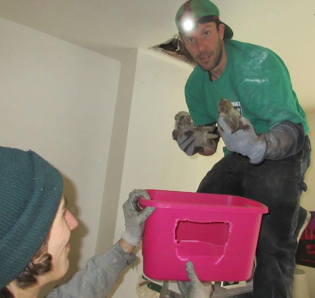 Derick finds raccoon babies in the attic