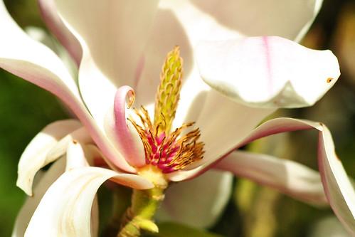 """Wunderbar blüht dieser Magnolienstrauch. Die Hauptblütezeit ist April und Mai. Magnoliengewächse haben ihren Namen von dem französischen Botaniker Pierre Magnol. In meinem alten Kräuterbuch von 1884, in dem ich gerne blättere und suche, habe ich folgende Sätze gefunden: """"Die Blumen gleichen einfachen Rosen ... sie haben einen ausnehmend starken und angenehmen Geruch. Die rothbraunen Früchte sind so groß wie eine welsche Nuss(*), zuweilen wie ein Hühnerei ... wenn man sie in Rum legt und an der Sonne destilliert, so erhält man davon ein magenstärkendes Mittel."""" (* welsche Nuss = Walnuss) - Heute gelten Magnolien als leicht giftig. Die Pflanze enthält Alkaloide, die sich hauptsächlich in der Rinde und im Holz befinden. So oder so: dank seiner unvergleichlichen Blütenfülle ist ein Magnolienstrauch im Frühling ein Anblick, der das Herz aufgehen lässt. Foto Brigitte Stolle April 2016"""