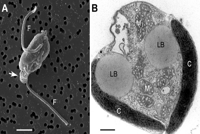 Chrysochromulina tobin cell structure. (A) Scanning electron micrograph of C. tobin. Two flagella are visible (marked F) along with the prominent coiled haptonema (white arrow). Scale bar represents 2.5 microns. (B) Electron micrograph of whole cell: Lipid body (LB); Mitochondrion (M); Chloroplast (C); Scale bar represents 500 nanometers. Photos by Steven Barlow, UCSD